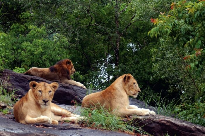 Lions at one of the national parks in Kerala