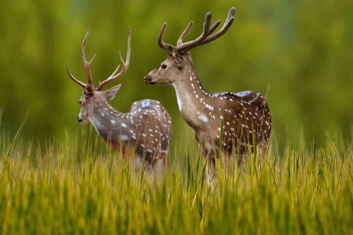 A pair of deer in the Bandhavgarh National Park