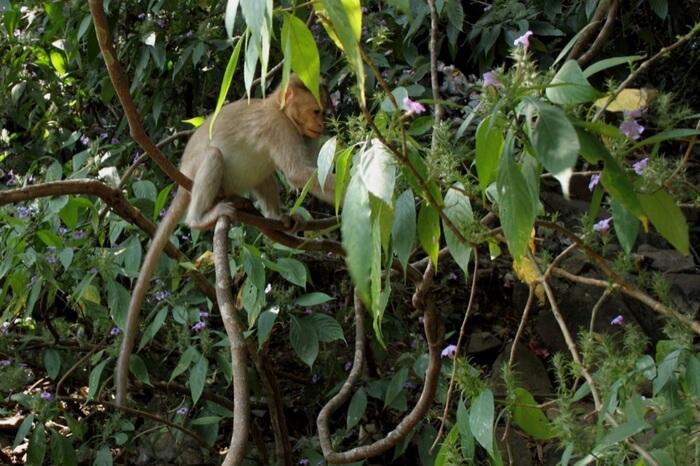 A Nilgiri Langur at Chimmony Wildlife Sanctuary