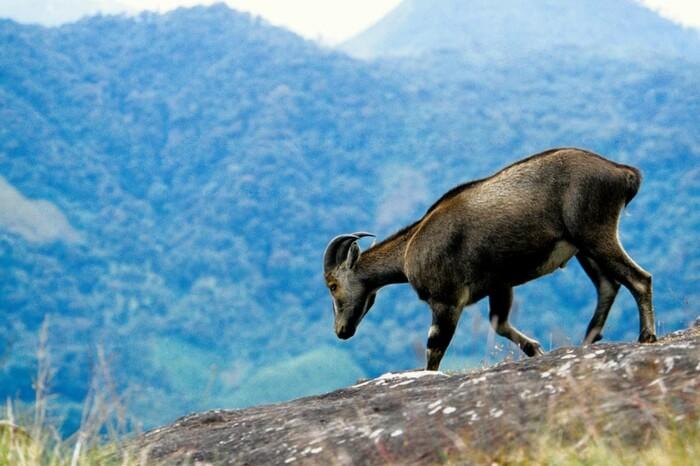 A Nilgiri Tahr Goat at Eravikulam National Park