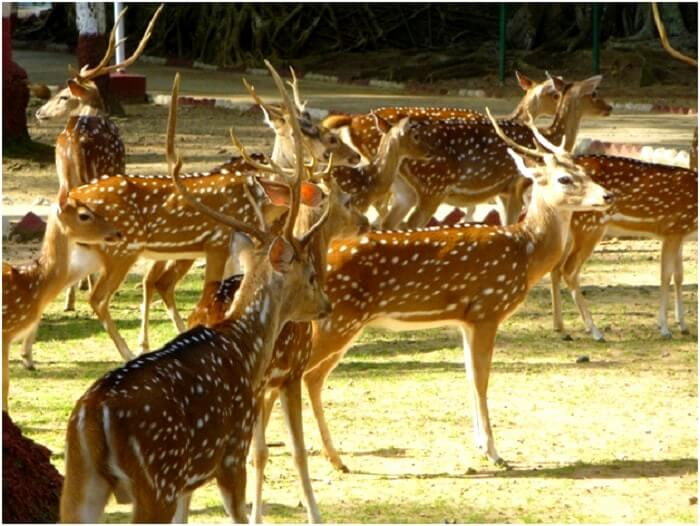 Deers in Andaman islands