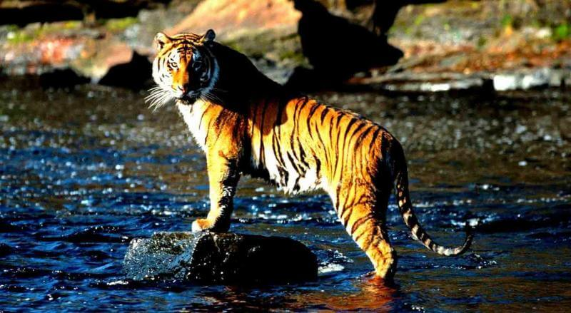 Have a glimpse of tiger in close proximity