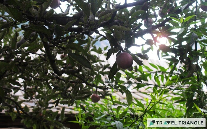 Apple orchids of Himachal