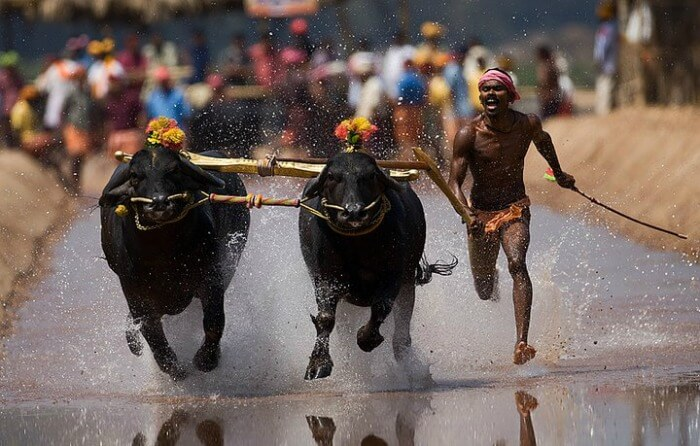 Kambala buffalo races