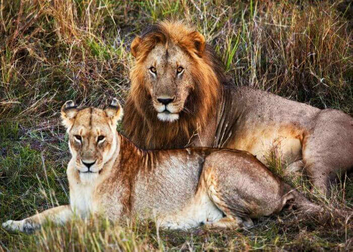 Visit the Gir National Park in Gujarat & spot lions!