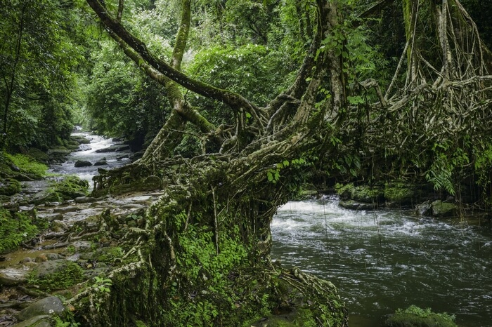 The living roots bridge in Shillong