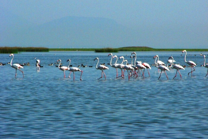 A group of migratory birds walking across the Chilka lake