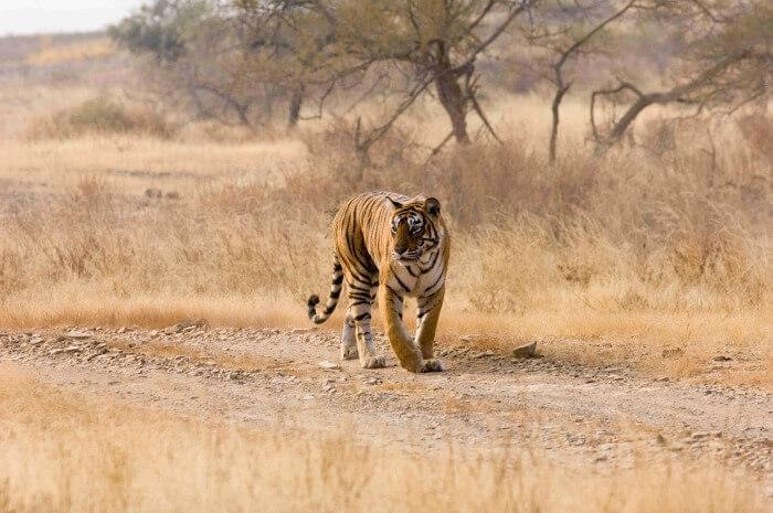 A tiger at the Ranthambhore National Park
