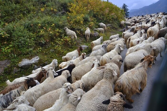 Sheeps on the road in Manali