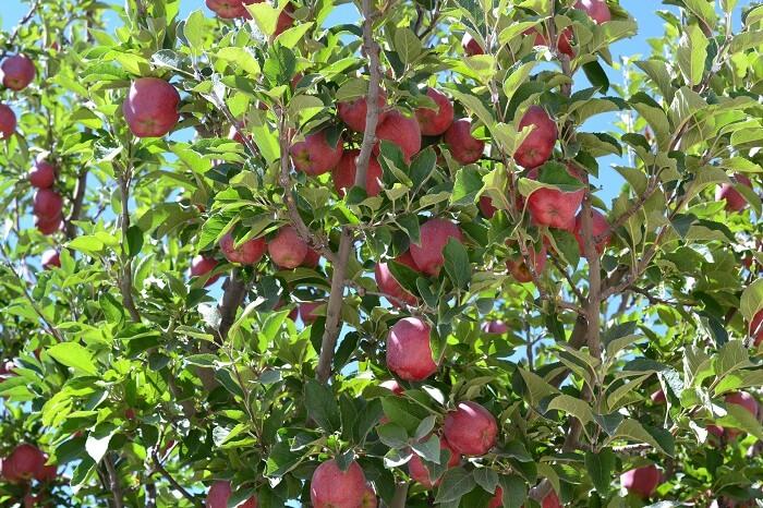 Apple tree in Tabo
