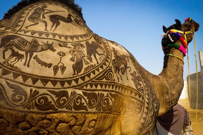 A shaved camel with beautiful designs on display during the Nagaur Fair in Rajasthan
