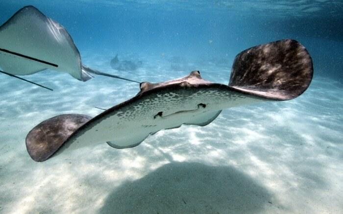 Stingray swimming in the ocean