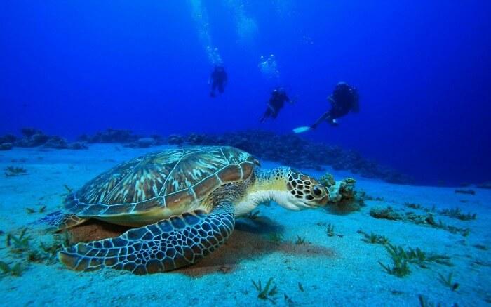 Scuba divers swimming near a sea turtle