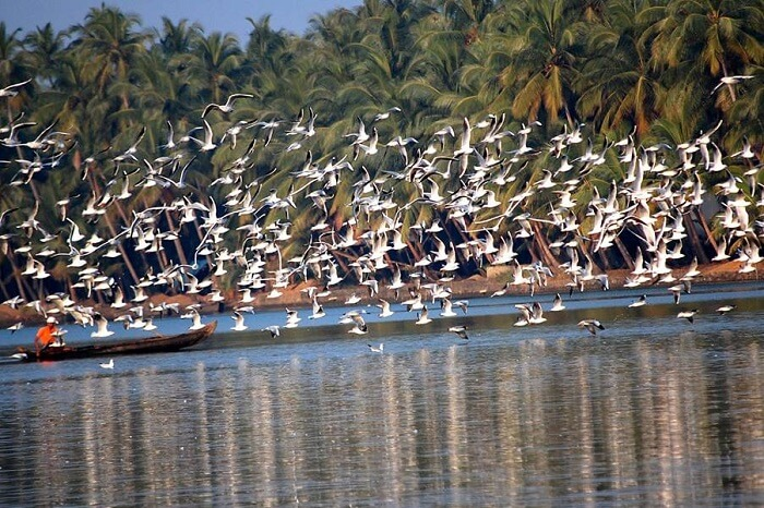 Numerous birds seen flying from the Payyoli Beach