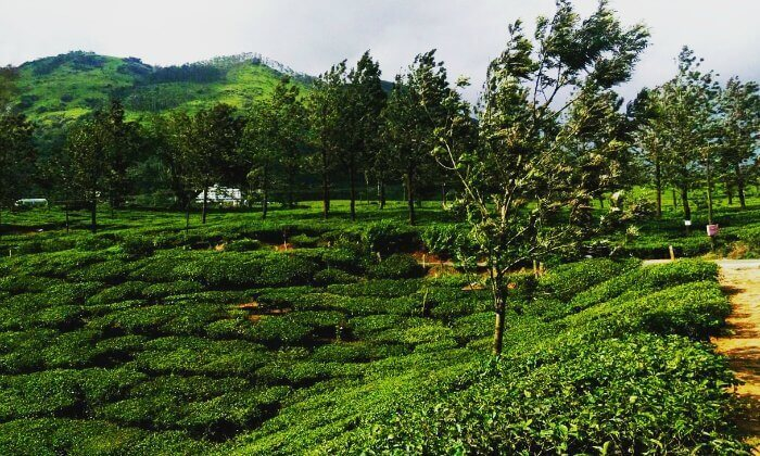 a trip to the Munnar tea plantations