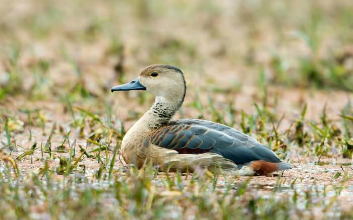 Wild duck in Keoladeo National Park