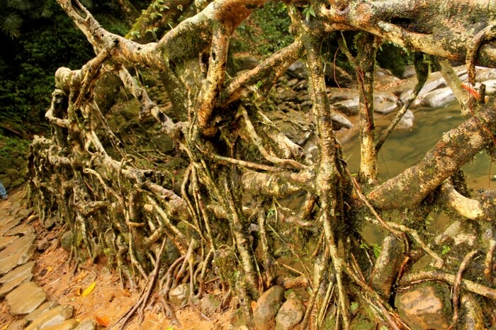 The formidable rubber tree roots that make Living Root Bridges