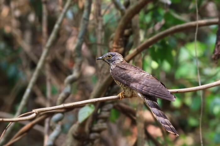 A picture of the Hodgson's Hawk Cuckoo