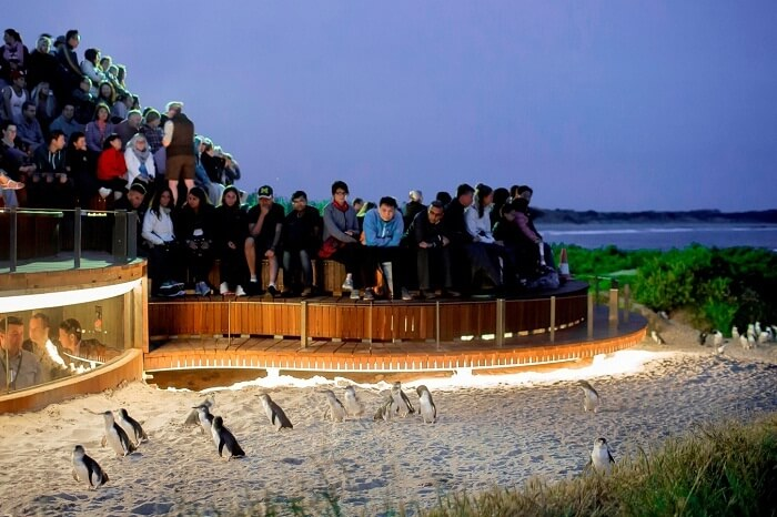 Tourists watching the penguin parade in Phillip Island of Australia