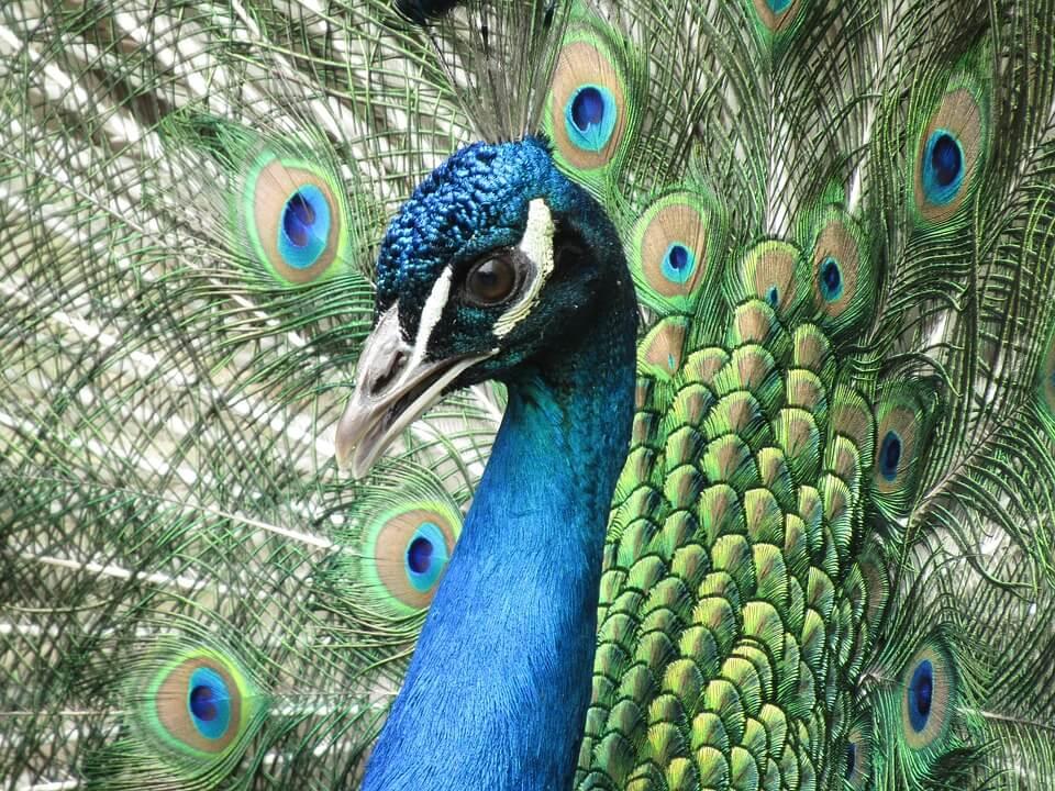 peacock-2422663_960_720