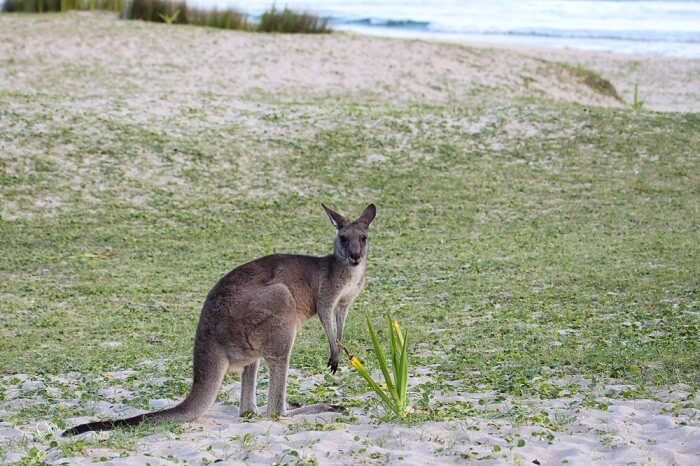 Kangaroos on the beach in Murramurang