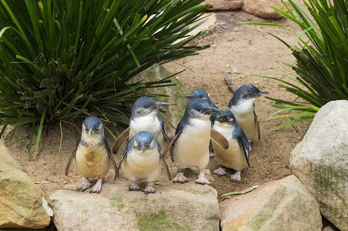 Penguin parade at Phillip Island