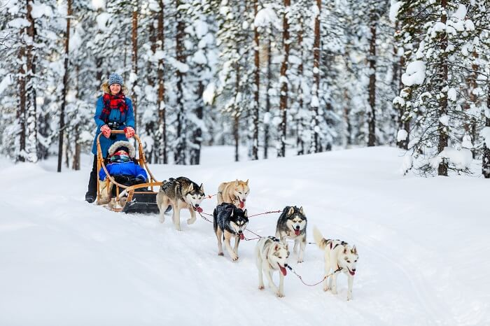 Husky dogs are pulling sledge with family at winter forest in Lapland in Finland