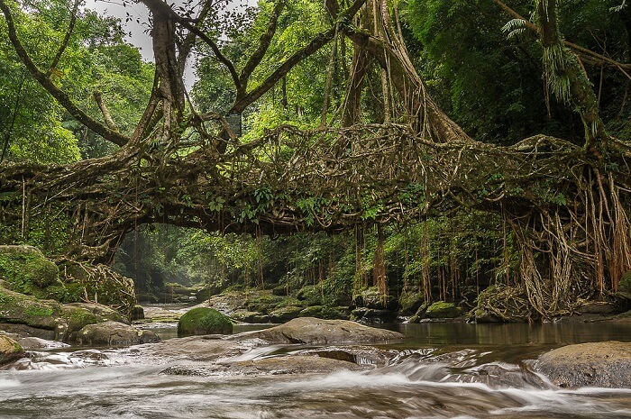 The living root bridge in Meghalaya