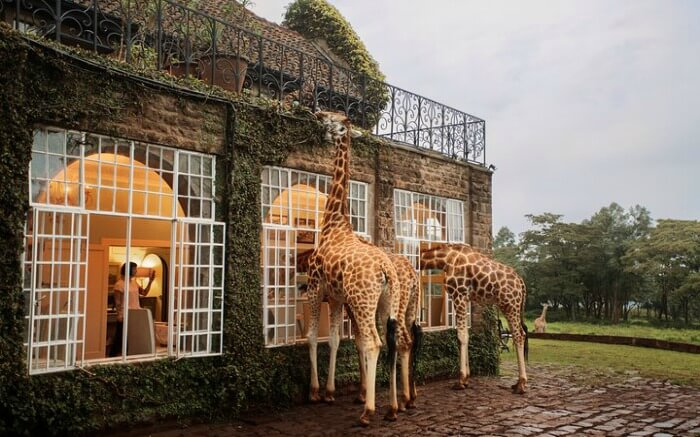 Rothschild Giraffes in Giraffe ManorRothschild Giraffes in Giraffe Manor