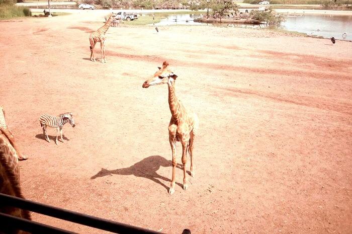 Witnessing Giraffes in Safari World