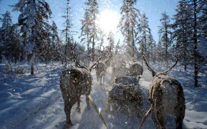 Reindeer in Oymyakon