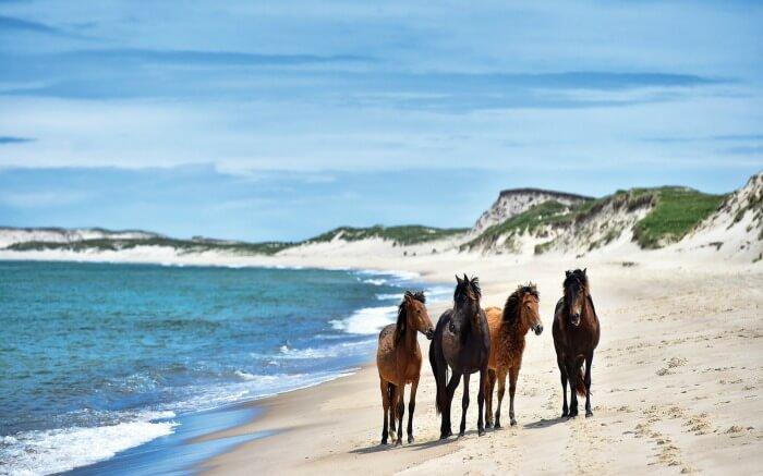 Wild horses in Sable Island