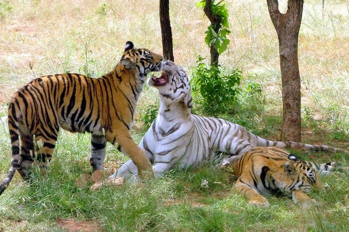A shot of tigers relaxing at the Van Vihar National Park in Bhopal