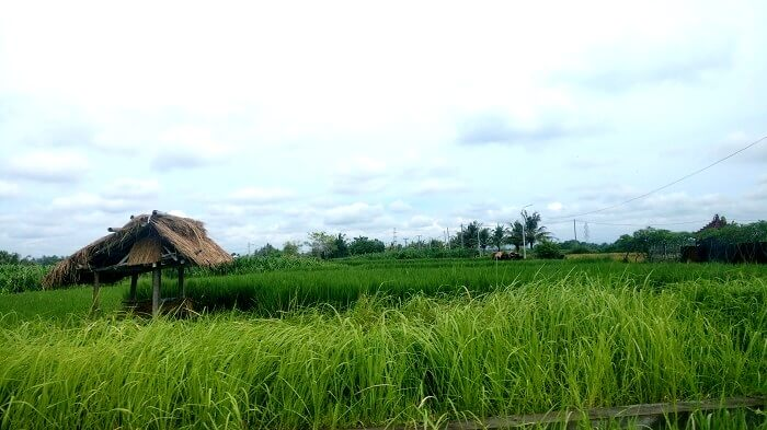 Lush green rice fields