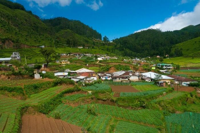 View of tea plantation at Ella