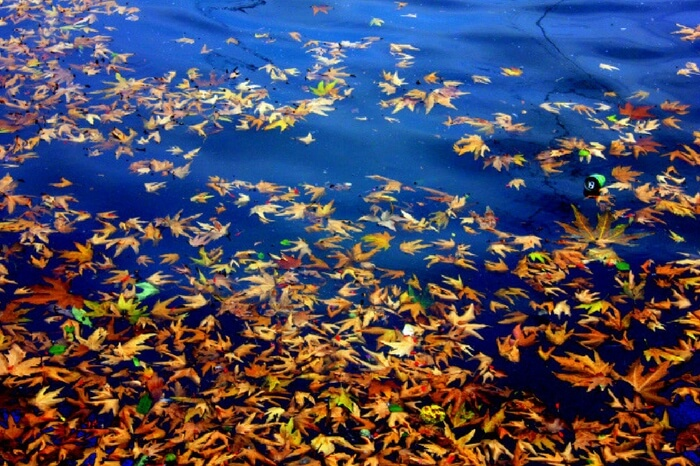 Leaves floating in Dal Lake in autumn