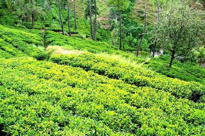 Lush green tea estates