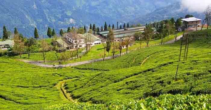 A beautiful tea plantation in Darjeeling