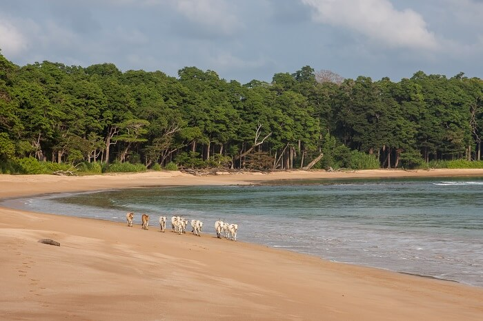 Cows walking along Butler Bay beach at Little Andaman island