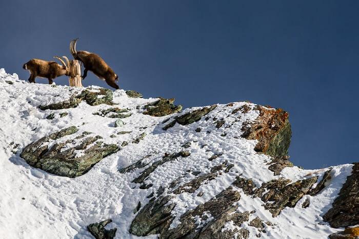 Alpine Ibex Fighting in Zermatt