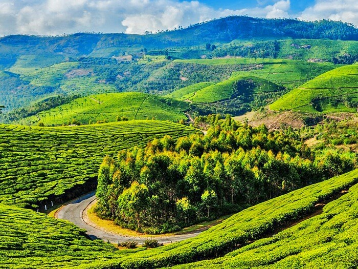 A snap of the lush green tea plantations in Coonoor