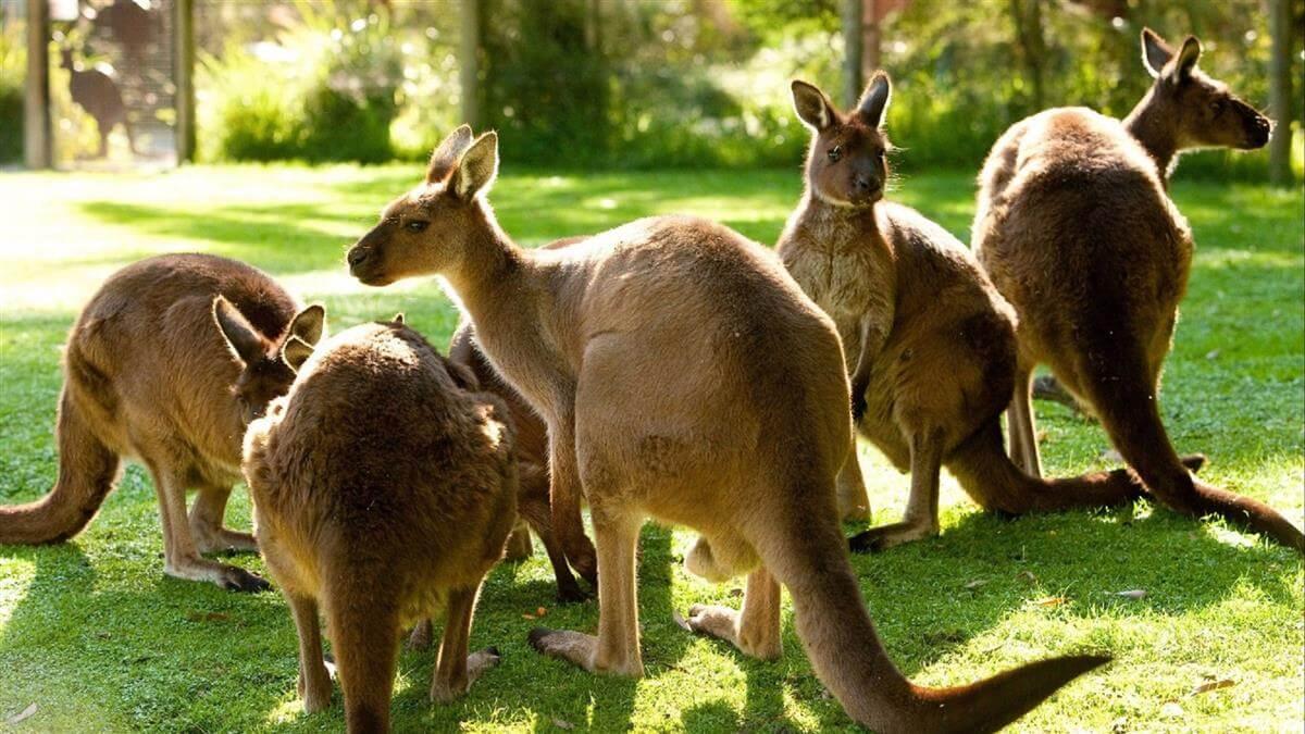Kangroo at Healesville Sanctuary
