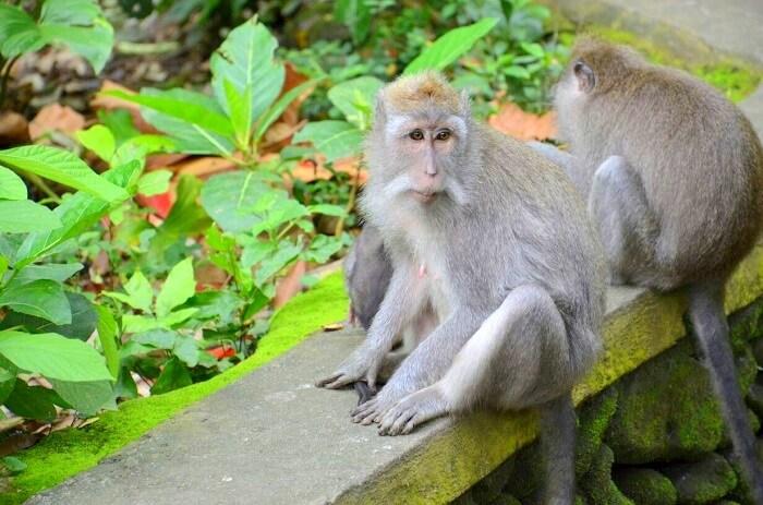 Monkey at the monkey forest in Ubud