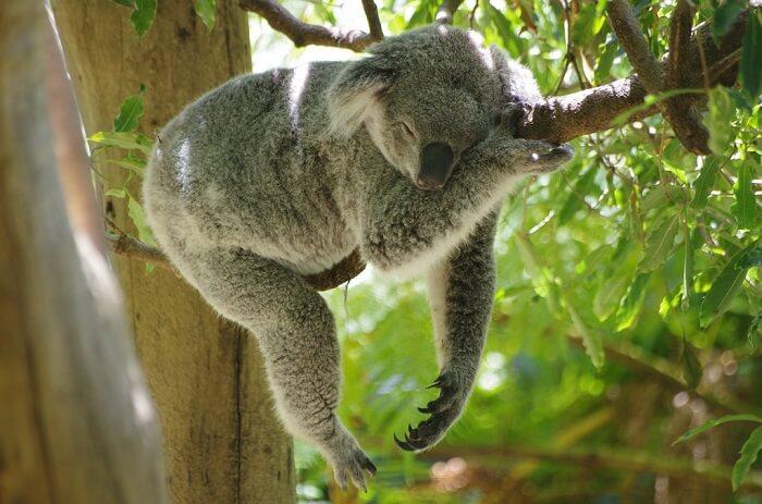 Koala in Taronga Zoo