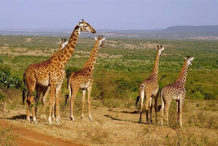 enjoy jungle safaris in Kenya