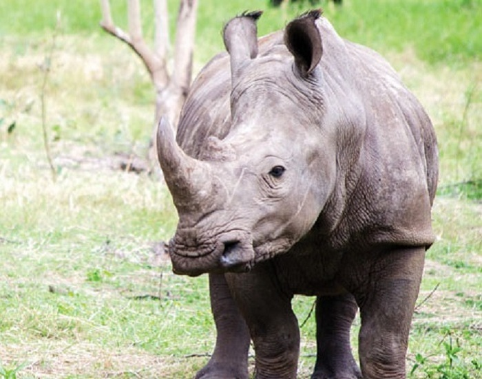Interaction with Rhinos at Casela Nature Park