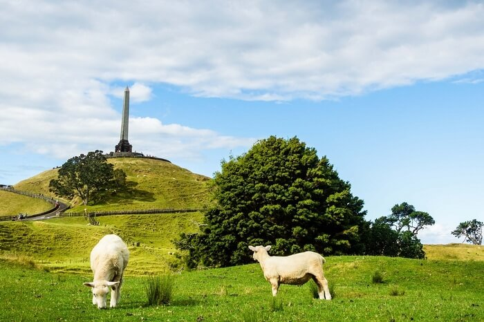 Sheep grazing at the Cornwall Park with One Tree Hill in the backdrop