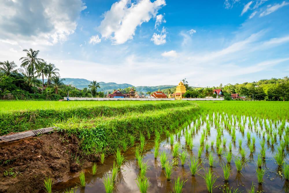 Kanchipuram rice fields