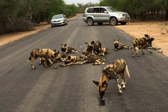 People watching wild dogs during safari honeymoon in Madikwe