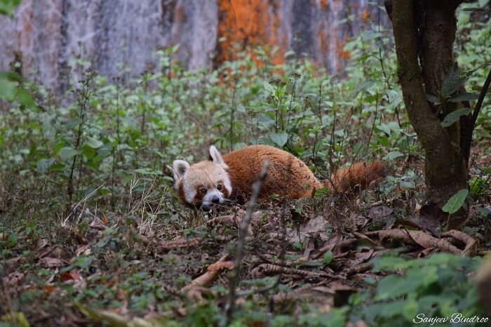 Red panda at Darjeeling Zoo